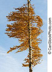 Orange birch tree