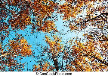 Orange birch tree with a blue sky