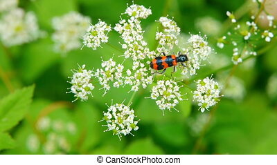 Orange black beetle collecting nectar.