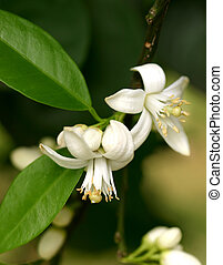 Orange blossom is the waxy, white blossom of the orange tree. Orange blossom are very fragrant. The Orange blossoms bloom in clusters of 1-6 during in spring and result in oranges the following autumn or winter.