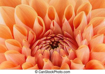 orange blume, blütenblätter , aufschließen, und, makro, von,...