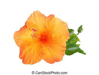 orange blume, hibiskus, auf, freigestellt, schließen