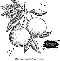 Orange branch vector drawing. Summer fruit engraved ...