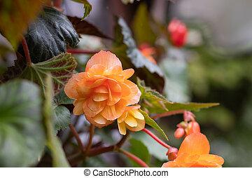orange bright flowers of tuberous begonias , blooming in garden.Apricot begonia plant.Blooming begonia grows in flower pot in garden. Plant with large double flowers of beautiful orange hue