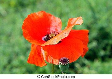 orange bright poppy