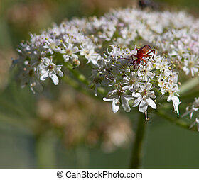 Bug on a Wild Carrot Flower - Orange Bug on a Wild Carrot...