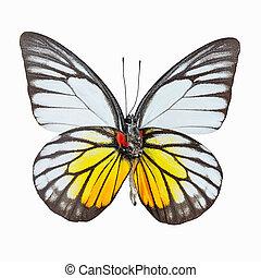 Orange Gull butterfly - Orange bullterfly, Orange Gull...