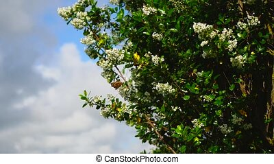 Orange butterflies and bees pollinate white lilac flowers in a spring garden against a blue sky