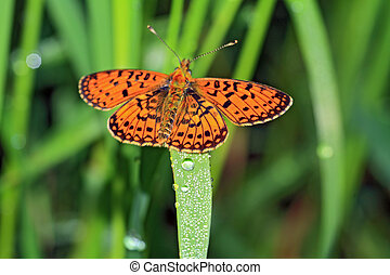 orange butterfly amongst green herb