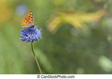 orange butterfly feeding on blue wildflower