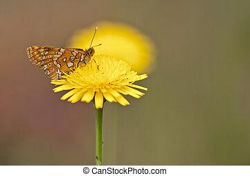 orange butterfly feeding on yellow wildflower