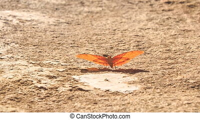 closeup beautiful orange butterfly sits and flaps wings on dry stone surface in park