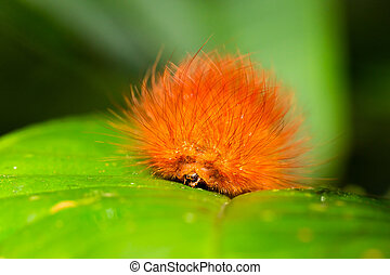 Orange Butterfly Larva Close Up