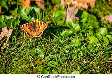 Orange butterfly on a green lawn