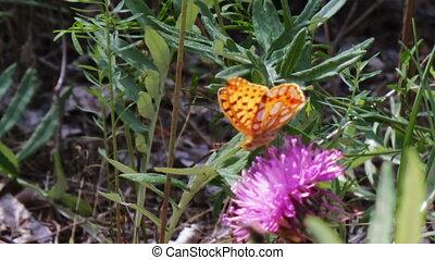 Orange Butterfly on a purple flower.