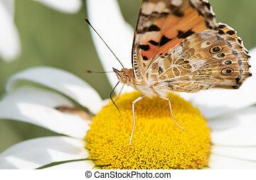 Orange butterfly Vanessa Cardui on white flower.
