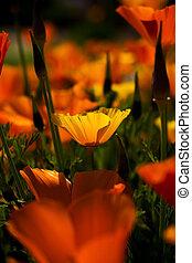 orange california poppies, Eschscoizia