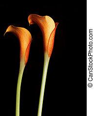 Orange Calla Lillies isolated on black. Callas are also...