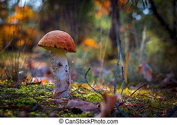 orange-cap boletus in moss forest