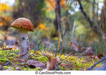 orange-cap boletus mushroom in forest