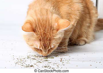 Orange cat eating catnip, a favorite treat of felines