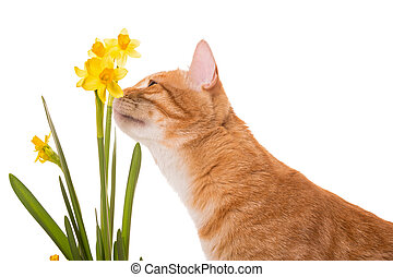 Orange cat is smelling the daffodils - Orange cat is...