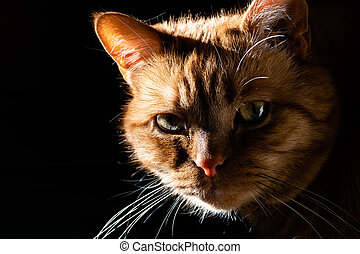 Orange cat looking at the camera; illuminated by bright sun on one side; dark background