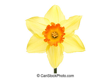 Orange centered Daffodil
