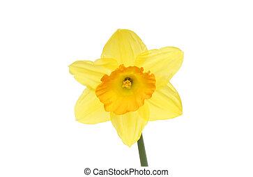 Orange centered daffodil flower