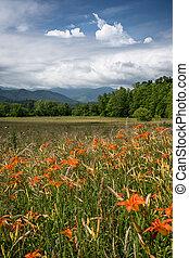 orange, champ, daylilies