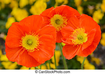 Orange champagne scarlet  flowers blossoming in the spring