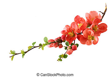 Fresh orange cherry blossom isolated on white