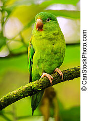 Orange-chinned parakeet (Brotogeris jugularis) sitting in a tree