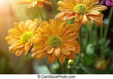Orange chrysanthemum flower.