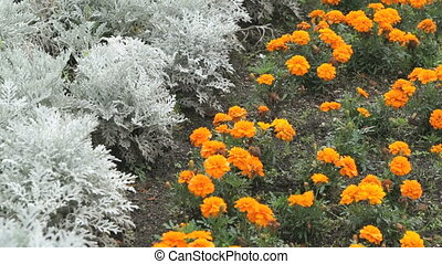 Orange chrysanthemums at the garden in summer. Close-up