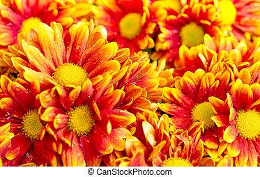 orange chrysanthemums daisy flower
