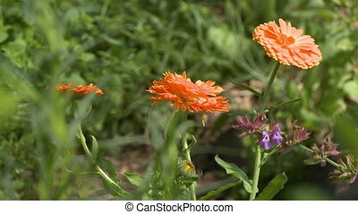 Orange Chrysanthemums - Steady, medium close up shot of...