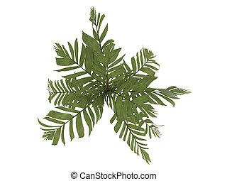 Orange Collar Palm or Areca vestiaria