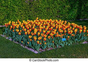orange colorée, jaune, tulipes, keukenhof, parc, lisse, dans, hollande