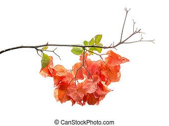 Orange color Bougainvillea