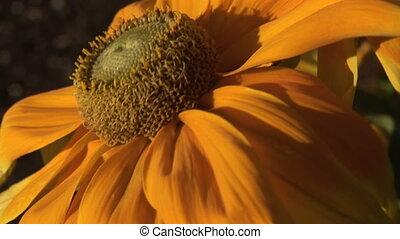 Orange Coneflower in the Breeze