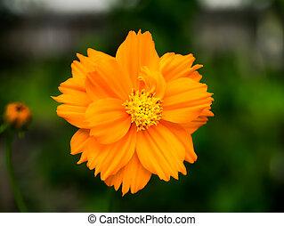 orange cosmos flower in the garden.