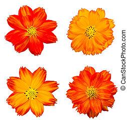 Orange cosmos flower isolated