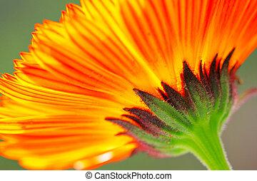 orange couleur, fleur, haut fin