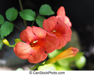 Close up orange creeper flower with leaves.