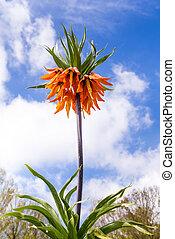 Orange crown imperial flowers