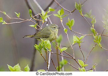 Orange-crowned Warbler (Oreothlypis celata) perched in a tree during spring migration in early May - Grand Bend Ontario, Canada