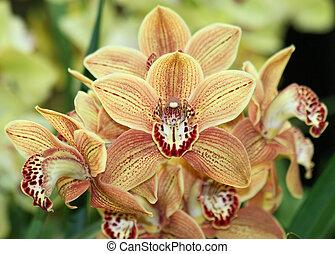 orange, cymbidium, 2, orchidées