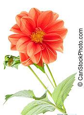 Orange dahlia - Bright orange single-flowering dahlia ...