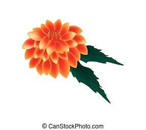 Orange Dahlia Flower on A White Background